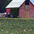 Iris Field And Barn by Gary Olsen-Hasek
