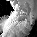 Iris Flower In Black And White by Jennie Marie Schell