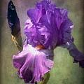 Iris Flower by Lilia D