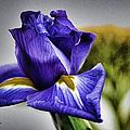 Iris Flower Macro by Sandi OReilly