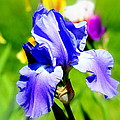 Iris In Bloom by Barbara Giuliano