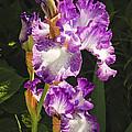 Iris In June by Tom Doud