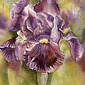 Iris In Purple by Alfred Ng
