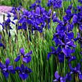Iris In The Field by Kay Novy