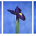 Iris by Lana Enderle
