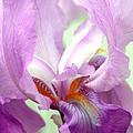 Iris by Laurel Gillespie