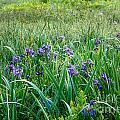 Iris Meadow 1 by Susan Cole Kelly