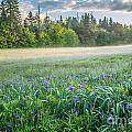 Iris Meadow 2 by Susan Cole Kelly