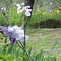 Iris On The Path by Iris Prints