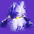 Iris Passementerie by Susan Elizabeth Dalton