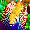 Iris Petal By Jan Marvin by Jan Marvin