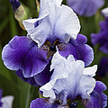 Iris Purple And White Fine Art Floral Photography Print As A Gift by Jerry Cowart