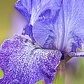 Iris Purple Pepper by Regina Geoghan