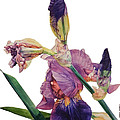 Watercolor Of A Tall Bearded Iris In A Color Rhapsody by Greta Corens