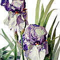 Watercolor Of A Tall Bearded Iris In Violet And White I Call Iris Selena Marie by Greta Corens