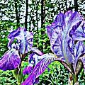 Iris by Tania Eddingsaas