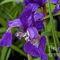 Iris by William Norton