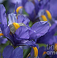 Iris With Raindrops by Luv Photography