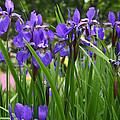 Irises In Spring by Wendy Raatz Photography