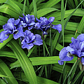 Irises by Mary Bedy