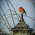 Irish Robin Perched On Garden Lamp by James Truett