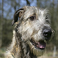 Irish Wolfhound by John Daniels