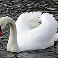 Isar Swan by Valerie Ornstein