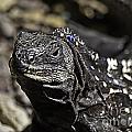 Island Lizards One by Ken Frischkorn