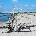 Island Tree by Paula OMalley