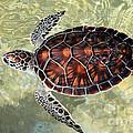 Island Turtle by Carey Chen