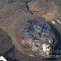 Island Turtle by Robert Nickologianis