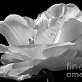 Isolated White Tulip by Darleen Stry