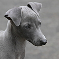 Italian Greyhound Puppy by Angie Vogel