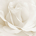 Ivory Ballerina Rose Flower by Jennie Marie Schell