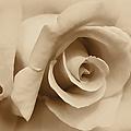 Ivory Brown Rose Flower by Jennie Marie Schell