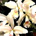 Ivory Cattleya Orchids by Elaine Plesser