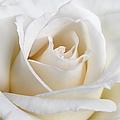 Ivory Rose Flower by Jennie Marie Schell