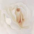 Ivory Rose Splendor Flower