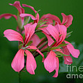 Ivy Geraniums by Living Color Photography Lorraine Lynch