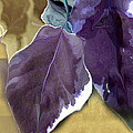 Ivy Leaves by Davina Nicholas