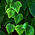 Ivy Leaves by Elery Oxford