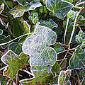 Ivy Leaves by Spikey Mouse Photography