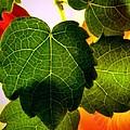 Ivy Light by Chris Berry