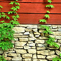 Ivy On Stone And Wood by Jeffrey Kolker
