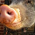 Ivy The Pet Pig by Jan Dappen