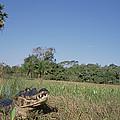 Jacare Caiman In Marshland Pantanal by Tui De Roy