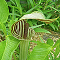 Jack In The Pulpit - Arisaema Triphyllum by Mother Nature