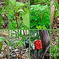 Jack-in-the-pulpit Wildflower    Arisaema Triphyllum by Mother Nature