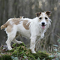 Jack Russell Dog In Autumn Setting by John Daniels