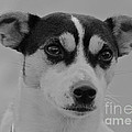 Jack Russell by Rob Hawkins